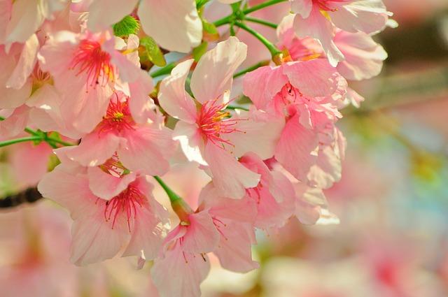 Cherry Blossoms, Spring, Plant, Flower, Plants, Flowers