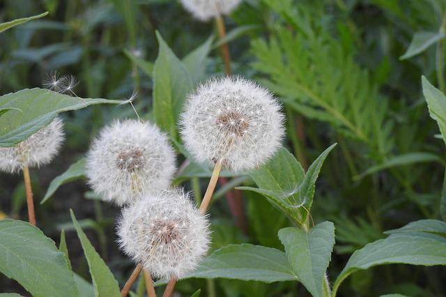 Sonchus Oleraceus, Dandelion, Spring, Nuns, Plant