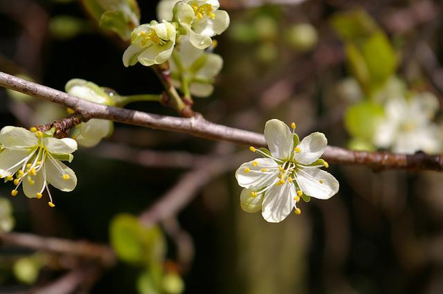 Spring, Plum Tree, Flowers, Plum Blossom, Branch