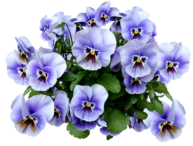 Free Photo Spring Png Blossom Blue Pansy Flower Bloom