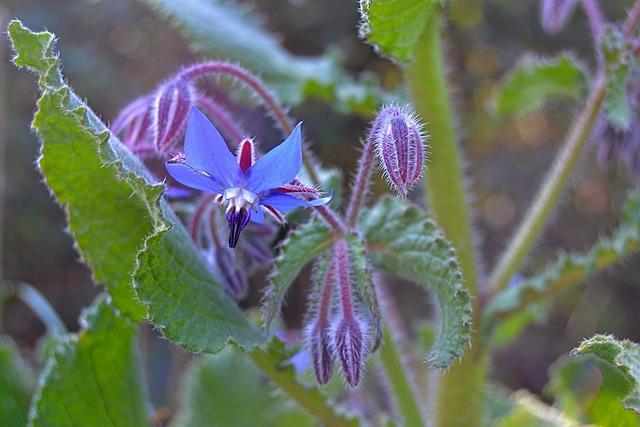 Borage, Purple Flower, Nature, Spring