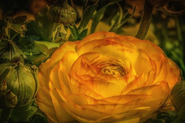 Ranunculus, Buttercup, Flower, Spring
