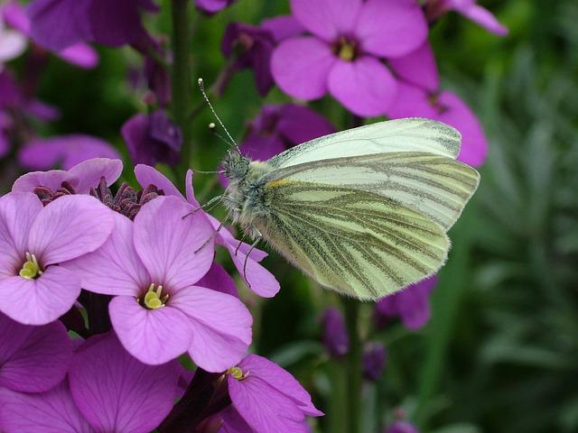 Butterfly, Spring, Green-veined White, Regents Park