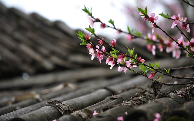 Peach Blossom, Spring, Diaojiaolou, Roof