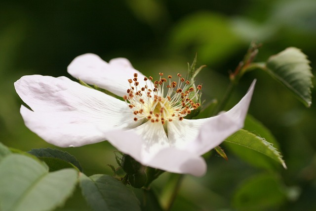 Flower, Wild, Rose Hips, Flowering, Spring, Nature