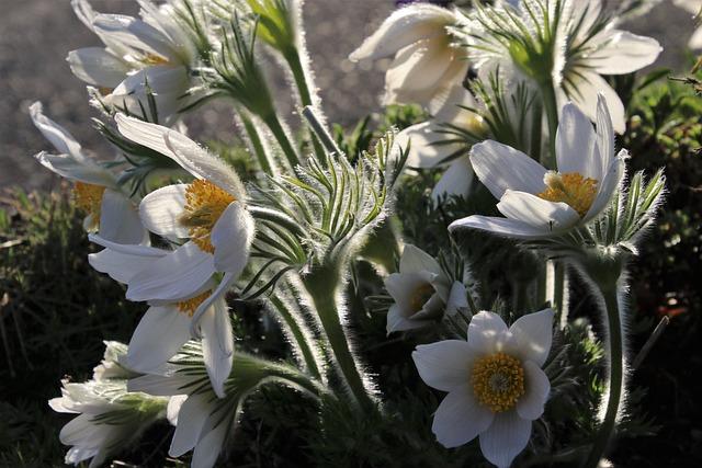 Sasanka, Spring, Fluffy, Delicate, The Bells