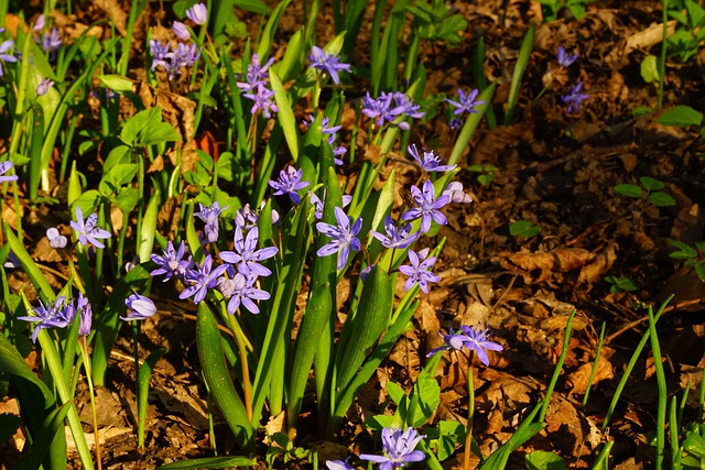 Blue Star, Scilla, Blossom, Bloom, Flower, Blue, Spring