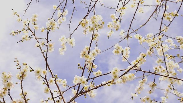 Plum Blossom, Blue Day, Sky, Spring, Flower's