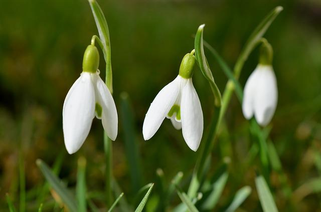 Snowdrop, Flowers, Spring, Signs Of Spring, Garden