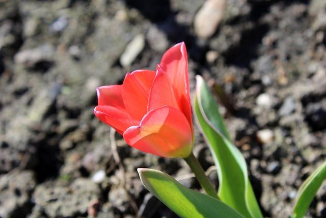 Tulip, Spring Flowers, Spring, Nature, Plant, Flower