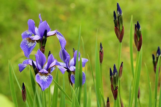 Irises, Kosaćce, Violet, Spring Flowers, Spring