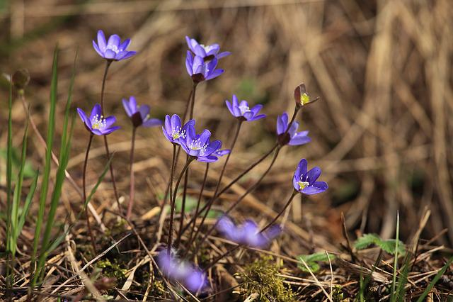 Hepatica, Spring, Spring Plant, Pennywort