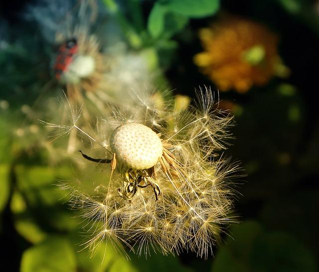 Dandelion, Nature, Flowers, Wild, Spring, Summer