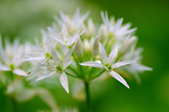 Wild Garlic, Flower, Plant, Allium Ursinum, Spring Time