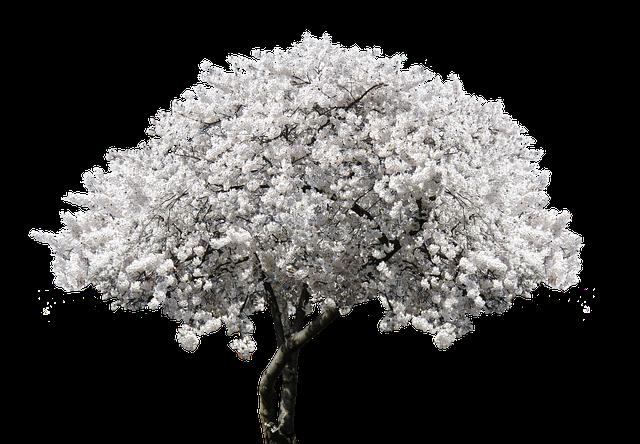 Nature, Tree, Blossom, Bloom, Cherry, Blossom, Spring