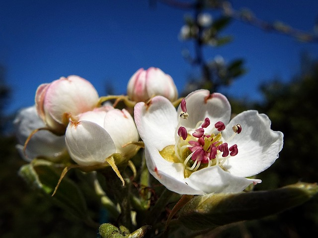 Pear-tree, Tree, Fruit, Flower, Spring, Garden