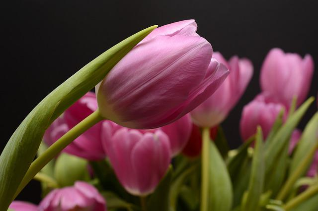 Tulips, Flowers, Leaves, Flower, Spring, Close, Nature