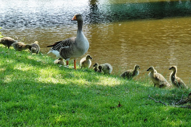 Goose With Boy, Spring, Geese, Goose, Waterfowl