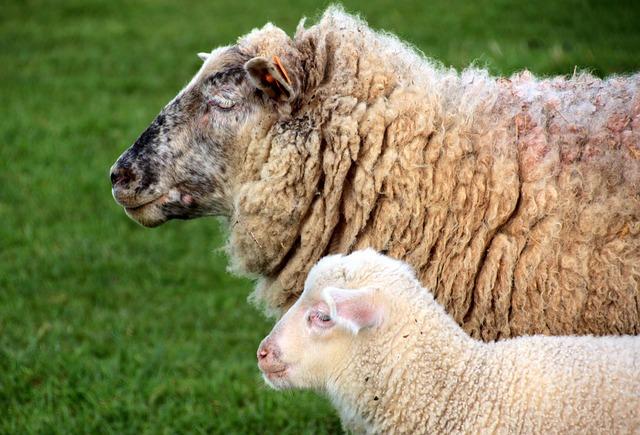 Sheep, Dam, Lamb, White, Schäfchen, Animals, Spring