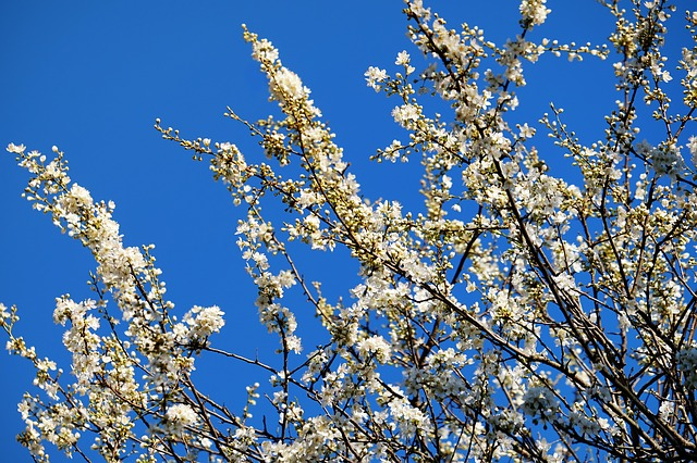 Spring, Tree Blossoms, Tree, White Flowers, Flowers