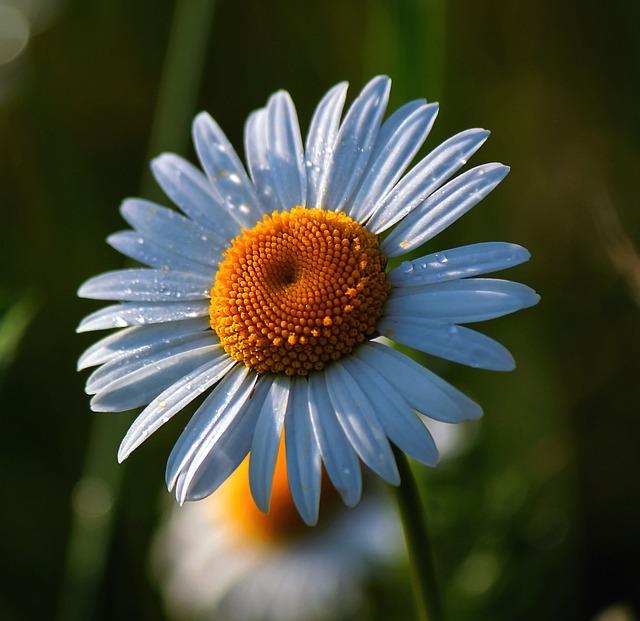 Daisy, Flowers, Spring, White, White Flower