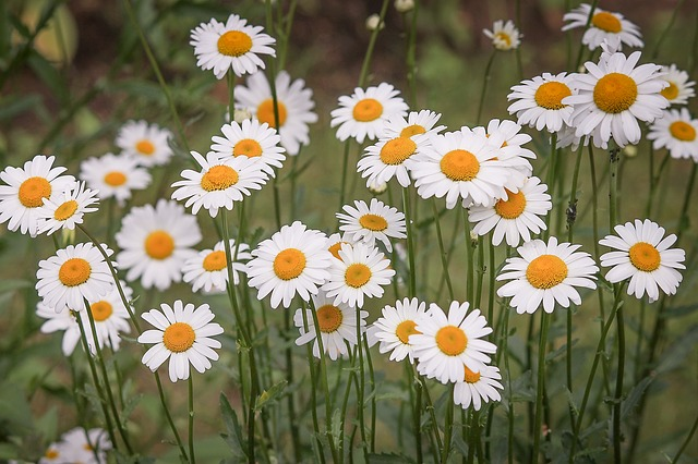 Daisies, Flower Meadow, White, Wild Flowers, Spring