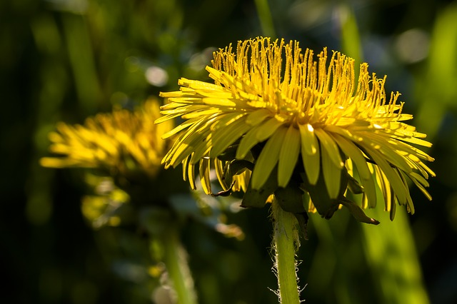 Dandelion, Yellow, Pointed Flower, Spring