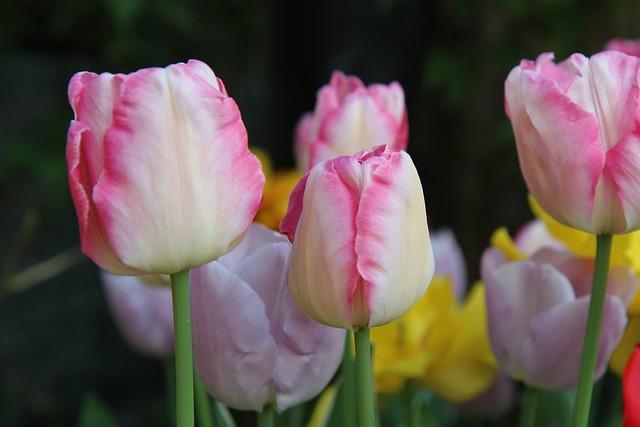 Tulip, Tulips Pink, Spring-flowering, Tulip Spring