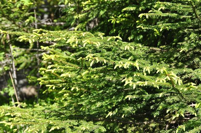 Spruce Bud, Nature, Forrest, Finland