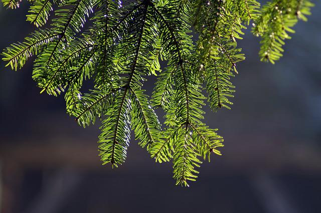Spruce, Branch, Highlighted, Green, Hanging