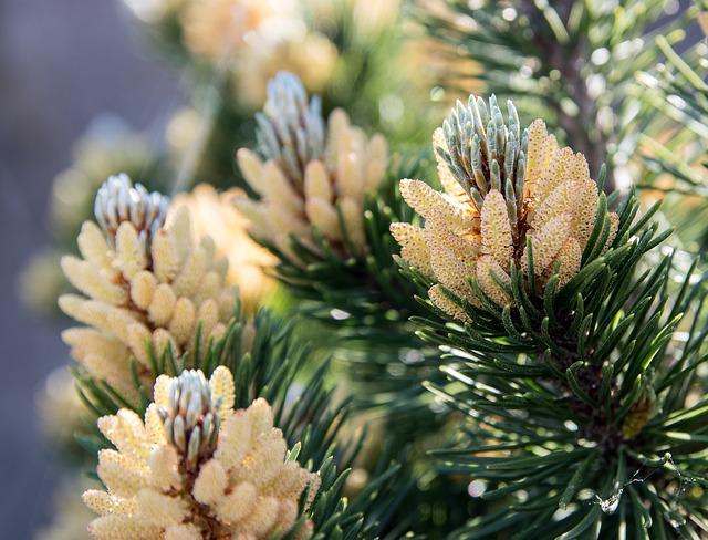 Spruce Branches, Spruce Shoots, Spruce, Needle Branch