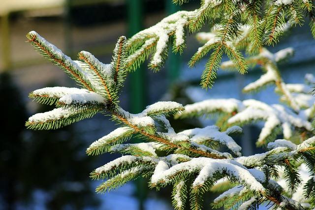 Christmas Tree, Iglak, Snow, Winter, Spruce, Sprig