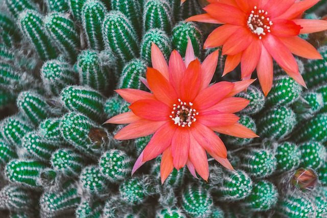 Cactus, Blossom, Bloom, Red, Pink, Yellow, Close, Spur