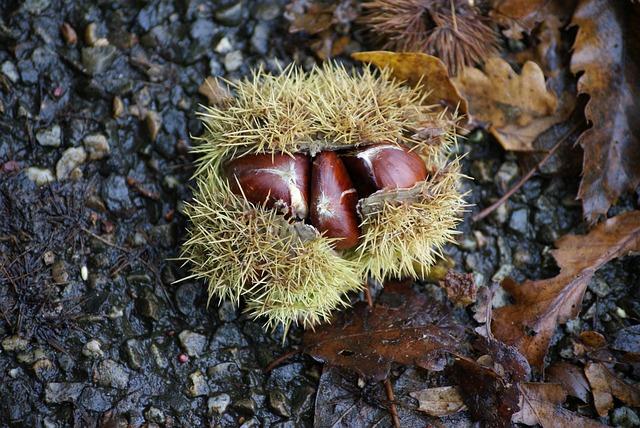Chestnut, Chestnuts, Maroni, Spur