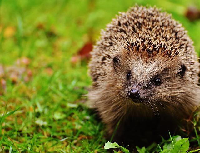 Hedgehog Child, Hedgehog, Animal, Young Hedgehog, Spur