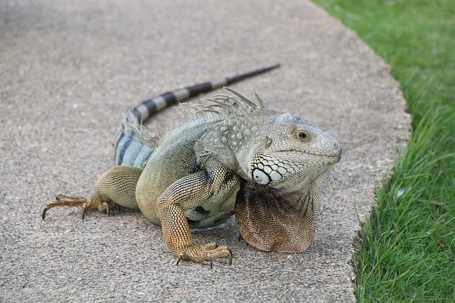 Iguana, Lizard, Reptile, Scaled Hulk, Sauri, Spur
