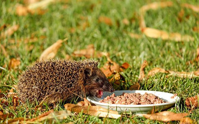 Hedgehog, Animal, Mammal, Spur, Meal, Garden