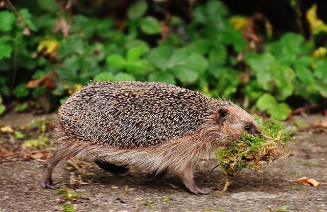 Hedgehog, Hard Working, Build, Shelter, Animals, Spur