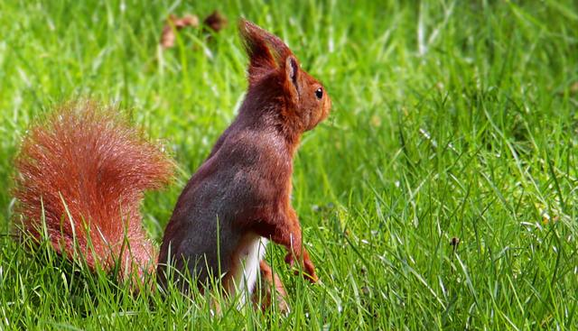 Squirrel, Tree Squirrels, Grass, Nature, Animal, Mammal