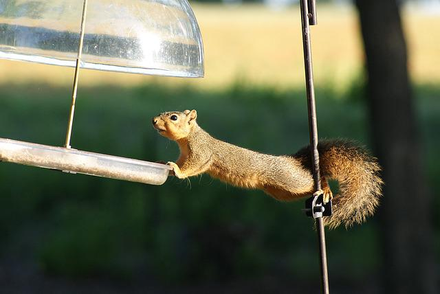 Squirrel, Hungry, Acrobat
