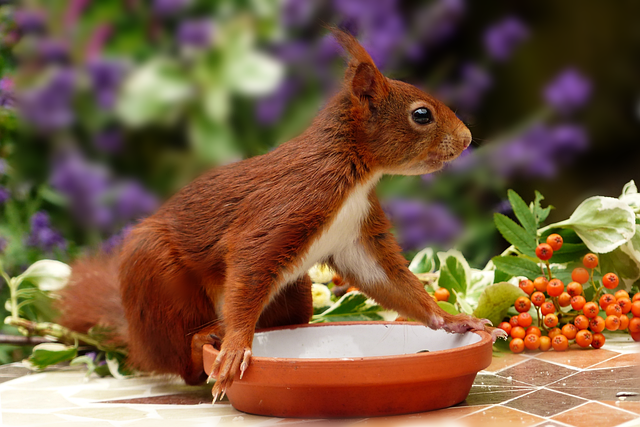 Animal, Rodent, Mammal, Squirrel, Brown, White Breast