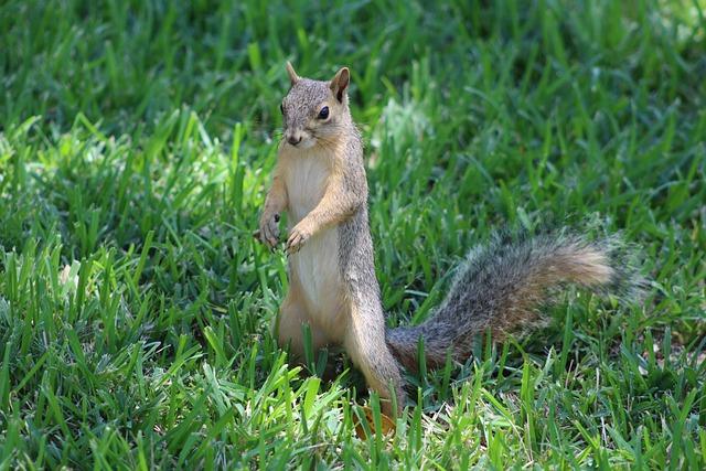 South, Texas, Fox, Squirrel