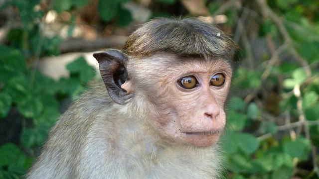 Monkey, Makake, Sri Lanka