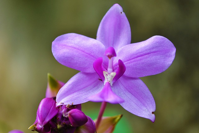 Orchid, Purple Orchid, Garden, Sri Lanka, Mawanella