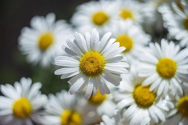 Chamomile, Flowers, Beauty, Russia, St Petersburg, Love