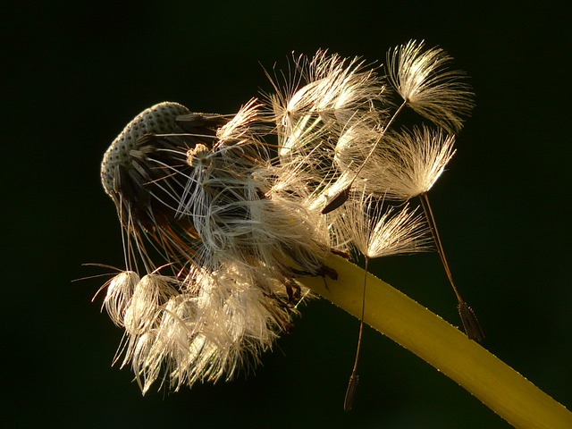 Dandelion, Seeds, Flower, Meadow, Spring, Stalk