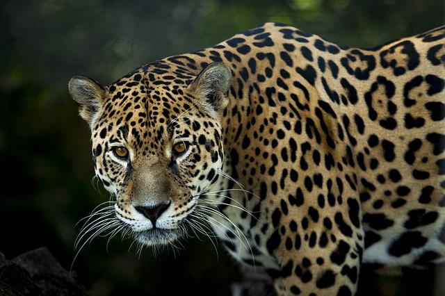 Jaguar, Stains, Look, Fiera, Stalking, Eyes, Jaguarete