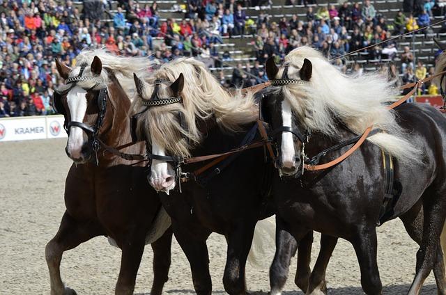 Main And State Stud Marbach, Stallion Parade, Kaltblut