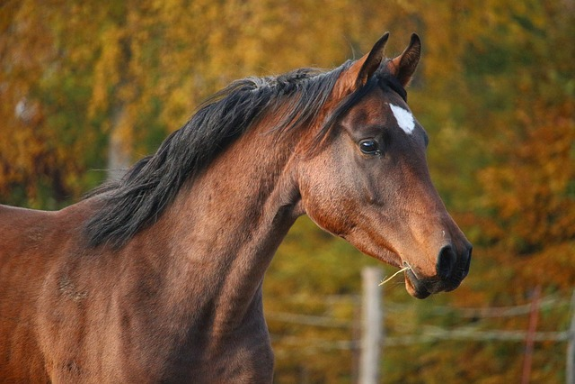 Horse, Brown, Stallion, Thoroughbred Arabian