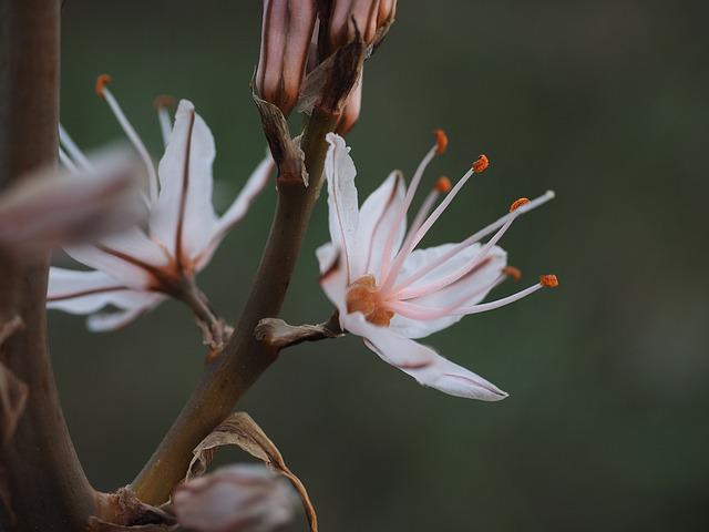Stamen, Fragrant Asphodel, Flower, Blossom, Bloom